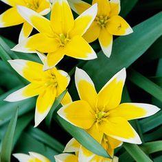 Editors' Picks: Best Spring-Blooming Bulbs   Tulipa tarda