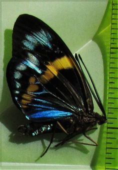 Gorgeous Day Flying Moth Eterusia repleta Pair Folded/Papered FAST SHIP FROM USA