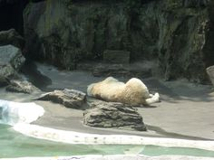 Bronx Zoo: orso polare