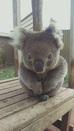 by Maru Koala & Animal Park Baby Animals Super Cute, Cute Funny Animals, Nature Animals, Animals And Pets, Australia Animals, Cute Animal Pictures, Animals Beautiful, Dog Cat, Koalas