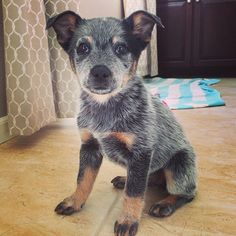Australian cattle dog blue heeler Hound Puppies, Cute Puppies, Dogs And Puppies, Animals And Pets, Baby Animals, Cute Animals, Beautiful Dogs, Animals Beautiful, Blue Heelers