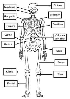 Esqueleto Humano para imprimir y colorear. Menciona los