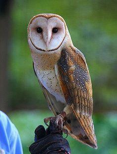 Owl - A beautiful bird. Rock City Raptors at Rock City. /pages/Rock-City-Raptors/A beautiful bird. Rock City Raptors at Rock City. /pages/Rock-City-Raptors/ Owl Photos, Owl Pictures, Animals And Pets, Baby Animals, Cute Animals, Beautiful Owl, Animals Beautiful, Lechuza Tattoo, Owl Bird