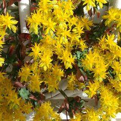 planta suculenta, Sedum