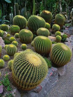 Here's how to grow the golden barrel cactus, Echonocactus grusonii, which has beautiful yellow spines and a short, fat shape. A must for any desert garden. Succulent Gardening, Cacti And Succulents, Planting Succulents, Planting Flowers, Golden Barrel Cactus, Cactus Plante, Agaves, Desert Plants, Cactus Y Suculentas