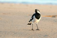 Magpie Lark on the beach at Hervey Bay, QLD. Photo by Lee Mason. Australian Birds, Magpie, Love Photography, Awesome, Beach, Animals, Animales, The Beach, Animaux