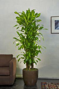 Houston's online indoor plant & pot store/   Premium Corn Plant