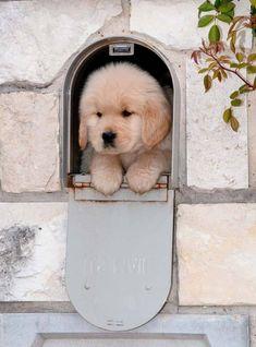 A golden retriever puppy in a mailbox