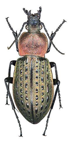 Carabus (Hemicarabus) tuberculosus Dejean, 1829 - сканографии С.Н.Иванова