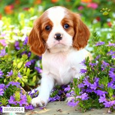 Teddy - Cavalier King Charles Spaniel Puppy for Sale in East Earl, PA