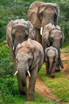 Approaching Giants elephant herd South Africa by Jacques Matthysen Photo Elephant, Elephant Family, Elephant Love, Elephant Walk, Elephants Never Forget, Save The Elephants, Baby Elephants, Baby Hippo, Animals And Pets