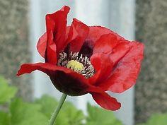 Opium poppy se non passa la tristezza con altri occhi la tattoos opium pictures by opium addiction mightylinksfo