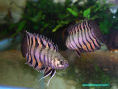 Microctenopoma ansorgii #TropicalFishFreshwater