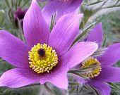 Anemone Violet Flower Seeds (Anemone Pulsatilla Vulgaris) - Under The Sun Seeds - 1 Unusual Flowers, Rare Flowers, Purple Flowers, Beautiful Flowers, Blooming Flowers, Anemone Flower, Flower Seeds, Perennials, Planting Flowers
