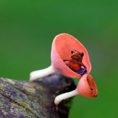 This tiny frog is also known as the strawberry poison arrow frog. The adults are between 2 and 2.5 cm long (3/4-1 inch). The males are very territorial and patrol it defending it from other mating or calling males, non-breeding males, and of course females, are allowed in. ♥