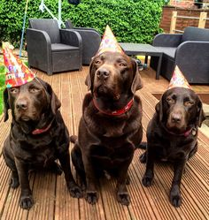 Would like to wish their puppies a very happy first birthday. by (Chocolate Lab Birthday) Brown Labrador, Chocolate Labrador Retriever, Labrador Dogs, Lab Puppies, Cute Puppies, Cute Dogs, Birthday Qoutes, Happy First Birthday, Brown Dog