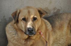 Cruce de pastor alemán de tamaño grande. Es muy cariñoso con las personas y con los demás perros... #adoptar #mascotas #adopcion #perros #gatos