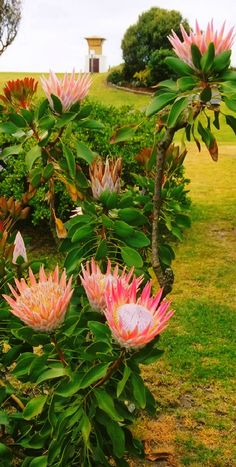Sugarbushes (Protea) at Papamoa Beach in Tauranga, New Zealand