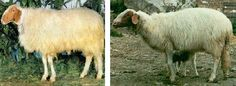 Comisana/Faccia Rossa/Lentinese sheep - ram(L) and ewe with lamb(R)