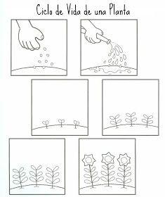 Ciclo De Vida Para Colorear De Plantas Secuencias Temporales
