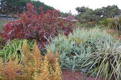 "Acacia cultriformis ""Knife Leaf Wattle"" by FarOutFlora, via Flickr"