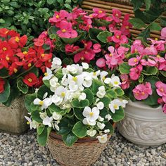 Buy Begonia Bada Bing Mix Annual Plants Online. Garden Crossings Online Garden Center offers a large selection of Begonia Dwarf Plants. Shop our Online Annual catalog today!