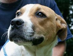 Sissy is an adoptable American Bulldog Dog in Chipley, FL. Sissy is an 8 to 10 month old female bulldog cross with a docked tail, about 35 to 40 pounds. She is a real sweetheart, very friendly and pla...