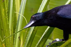 New Caledonian crows are arguably the smartest in the world. They're among the few animals known to make tools. Photo by Keith Brust.