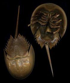 Lifeform of the week: Horseshoe crabs have something for everyone | Earth | EarthSky - Fisherman, doctors and bird lovers all rely on the Atlantic horseshoe crab. Can this ancient arthropod please all the people all the time?