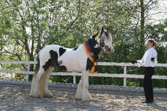 Gypsy or Irish Tinker Stallion Big Ben