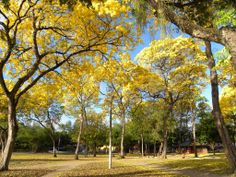 Floração dos ipês amarelos - Parque Solon de Lucena, João Pessoa, Paraíba, Brasil