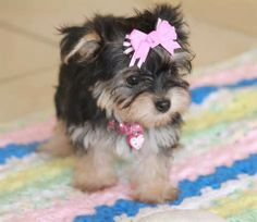 This is a Morkie puppy.