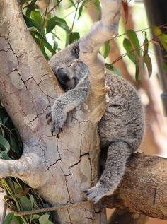 #sleeping #koala bear. #sleep