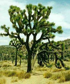 Yucca brevifolia is called the Joshua tree. This is a characteristic plant of the Mojave Desert and the primary reason why Joshua tree national park was created. Joshua trees can grow to 30 feet with