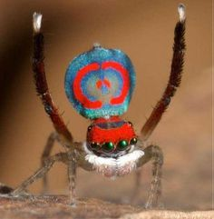 Australian Super Spider Colours!
