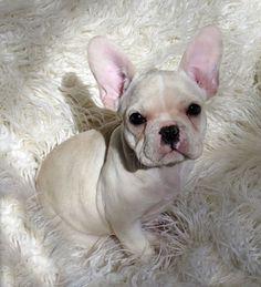 French Bulldog ~ Snuggly