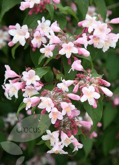 20.Kolkwitzia (beautybush)beauty bush