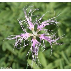 Dianthus superbus, Fringed Pink