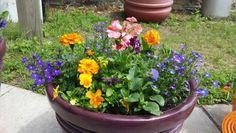 Pansie, geranium, and marigolds