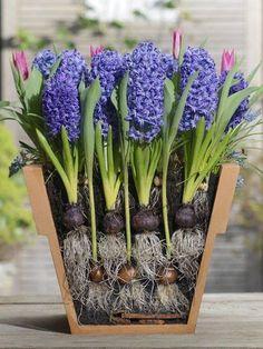 Most ültesd el a tavaszi hagymás növényeket, hogy a februári napsugarakkal a színpompás virágok is megérkezzenek.