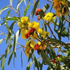 Red-capped Gum (Eucalyptus erythrocorys)