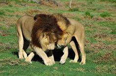 Leões apaixonados!