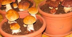 Most people who go in for mushroom growing just go out and buy both the spores (or spawn) and the growth medium. They do this because this is the easiest way to grow mushrooms. But if you are thinking of growing mushrooms commercially Porcini Mushrooms, Stuffed Mushrooms, Culture Champignon, Mushroom Spores, Household Plants, Growing Mushrooms, Organic Protein, Aquaponics, Permaculture