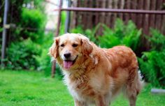 Find Out More On The Golden Retriever Dog Personality Golden Retriever Training, Dogs Golden Retriever, Retriever Dog, Moving With A Dog, English Golden Retrievers, Dog Facts, Flea And Tick, Ticks, Fleas