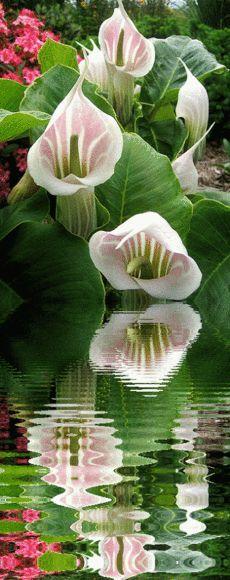 Cobra Lily (Arisaema candidissimum); a species of flowering plant in the arum family (Araceae)
