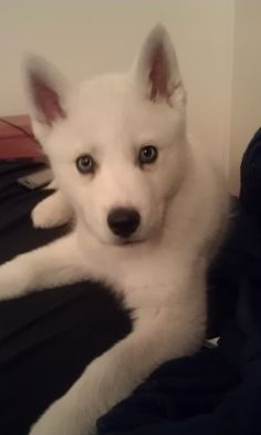 white siberian husky puppy. Omg omg could be mirelle's twin *.*
