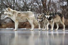 Wolf Park in Battle Ground, Indiana by Visit Lafayette - West Lafayette, via Flickr