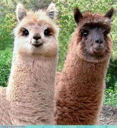 Alpaca's are pretty cute