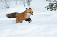 Dashing through the snow by coreyhayes #animals #animal #pet #pets #animales #animallovers #photooftheday #amazing #picoftheday