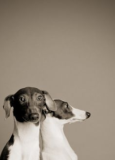 dog portrait. Italian greyhounds